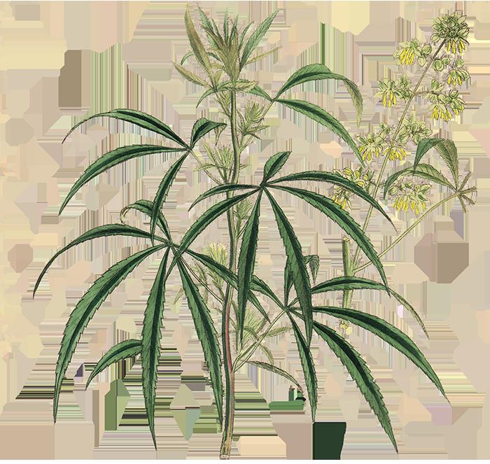 Hemp Plant Short - Hemp Apotheke